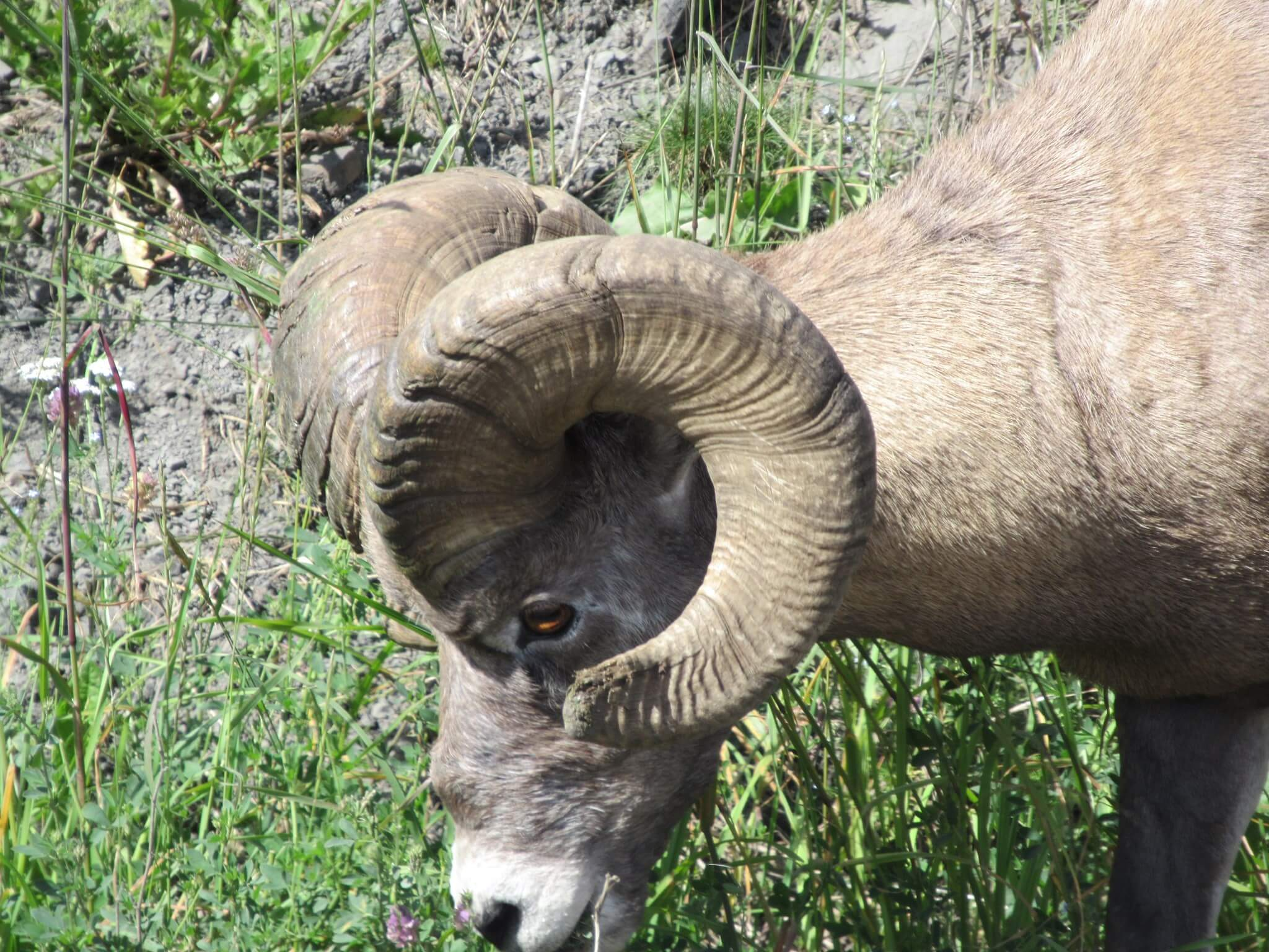 The Hinton area is home to some of the largest mountain sheep in the world.